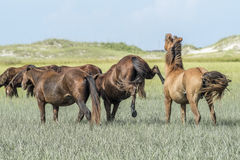 Wild horses of the outerbanks of North Carolina Royalty Free Stock Photography
