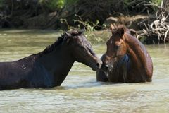 Wild Horses Pair Royalty Free Stock Image