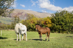 Wild horses  on a pasture in the autumn mountain Royalty Free Stock Photography