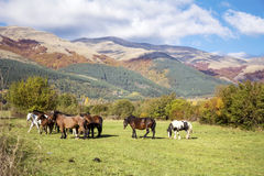 Wild horses  on a pasture in the autumn mountain Royalty Free Stock Photo