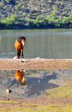Wild Horses Playing For Fun Running Free. Wild horses playing and running for fun along a lake. These wild mustangs are protected. Beautiful carefree in nature royalty free stock photography