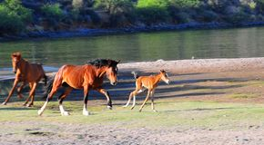 Wild Horses Playing For Fun Running Free. Wild horses playing and running for fun along a lake. These wild mustangs are protected. Beautiful carefree in nature stock photography