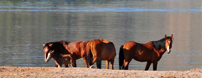 Wild Horses Playing For Fun Running Free. Wild horses playing and running for fun along a lake. These wild mustangs are protected. Beautiful carefree in nature royalty free stock photo