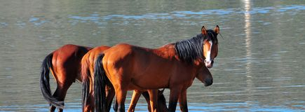 Wild Horses Playing For Fun Running Free. Wild horses playing and running for fun along a lake. These wild mustangs are protected. Beautiful carefree in nature stock photo