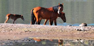 Wild Horses Playing For Fun Running Free. Wild horses playing and running for fun along a lake. These wild mustangs are protected. Beautiful carefree in nature royalty free stock photos