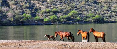 Wild Horses Playing For Fun Running Free. Wild horses playing and running for fun along a lake. These wild mustangs are protected. Beautiful carefree in nature stock images