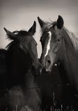 Wild Horses Playing in Sepia. Black and white/sepia of two bay horses playing in a pasture Stock Photo