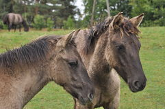 Wild Horses. Polish little wild horses i.e tarpans live in some national parks and reservates in Eastern Poland, in Ukta in this case. It was an ancient horse Stock Photo