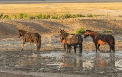 Wild Horses at a Pond. A herd of wild horses at a muddy pond in the Utah desert Royalty Free Stock Photo