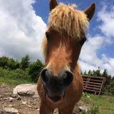 Wild Horses/Pony Of The Grayson Highlands State Park Virginia stock photos