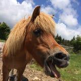 Wild Horses/Pony Of The Grayson Highlands State Park Virginia stock photo