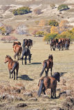 Wild horses a prairie, Weichang, Hebei, Inner Mongolia, China Royalty Free Stock Photo