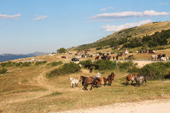 Wild horses and problems of traffic Royalty Free Stock Images