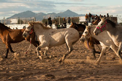 Wild Horses at the Professional Rodeo Royalty Free Stock Photography