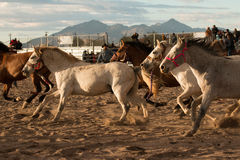 Wild Horses at the Professional Rodeo. Rodeos are very popular in the western states of the United States and in Canada Royalty Free Stock Photo