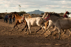 Wild Horses at the Professional Rodeo. Rodeos are very popular in the western states of the United States and in Canada Royalty Free Stock Photos