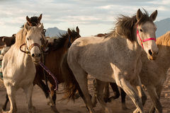 Wild Horses at the Professional Rodeo Stock Images