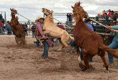 Wild Horses at the Professional Cowboy Rodeo. Rodeos are very popular in the western states of the United States and in Canada Royalty Free Stock Photos