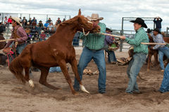 Wild Horses at the Professional Rodeo Stock Photography