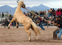 Wild Horses at the Professional Rodeo. Rodeos are very popular in the western states of the United States and in Canada Stock Photos