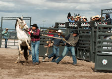 Wild Horses at the Professional Rodeo Royalty Free Stock Image