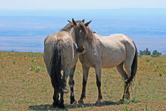 Wild Horses on Pryor Mountain in Montana Royalty Free Stock Image