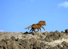 Wild horses on ridgeline. Running away Stock Photography