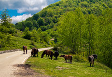 Wild horses on the road Royalty Free Stock Photography