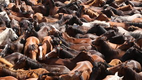 Wild horses rounded up in the crowded arena during the Rapa das Bestas. Shearing of the Beasts festival at Sabucedo, Galicia, Spain stock footage