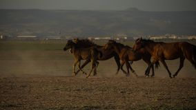 Wild horse herds running in the desert, kayseri, turkey. Wild horses run around in the desert, kayseri, turkey royalty free stock images
