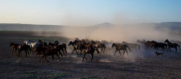 Wild horse herds running in the desert, kayseri, turkey stock photography