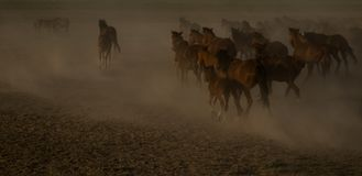 Wild horse herds running in the desert, kayseri, turkey. Wild horses run around in the desert, but sometimes people gather them, kayseri, turkey royalty free stock photos