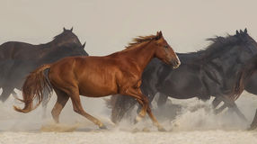 Wild horses run Royalty Free Stock Photo