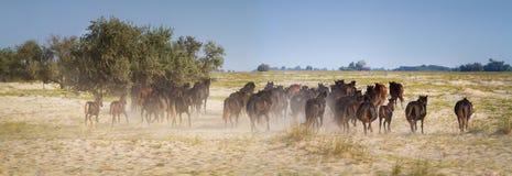 Wild horses run Royalty Free Stock Photos