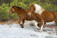 Wild horses run in sandy woods on Assateague Island, Maryland. Stock Photography