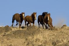 Wild horses running royalty free stock photo