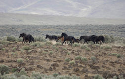 Wild horses running Royalty Free Stock Photos