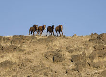 Wild horses running. Down a steep embankment Royalty Free Stock Image