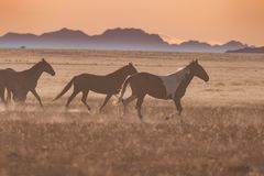 Wild Horses Running. Across the Utah desert at sunset Stock Photo