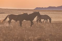 Wild Horses Running at Sunset Royalty Free Stock Photography