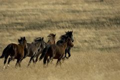Wild horses running away. In the grass Stock Images