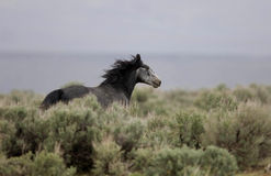Wild horses running away. Through the sage brush Royalty Free Stock Images