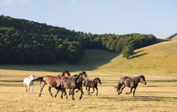 Wild horses running away Royalty Free Stock Photos