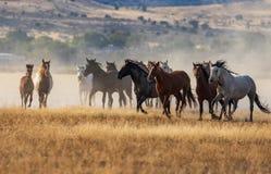 Wild Horses Running in the Desert. A herd of wild horses kicking up dust running in the Utah desert Stock Photography