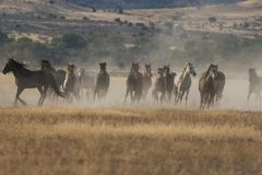 Wild Horses Running in the Desert. Herd of wild horses running in the Utah desert Royalty Free Stock Image