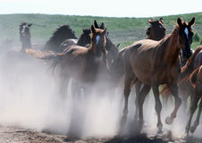Wild horses running in dust. On nature Royalty Free Stock Photography
