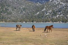 Wild horses are running royalty free stock image
