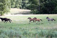 wild horses running at a gallop in a countryside plain. Green me royalty free stock photo