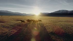 Horses running free in meadow with snow capped mountain backdrop stock footage