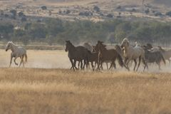 Wild Horses Running. Herd of wild horses running in the Utah desert Stock Photos